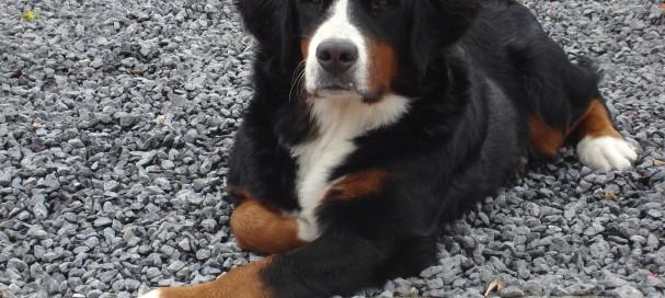 Le bouvier bernois : un chien idéal