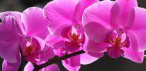 Comment s occuper des orchidées ?